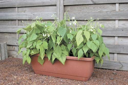bush bean