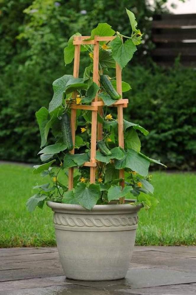 cucumberpot