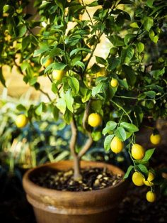 lemon-tree-in-pot-2