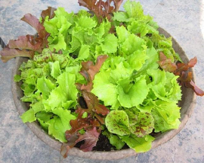 lettuce-in-container
