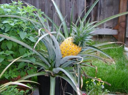 pineapple-in-pot