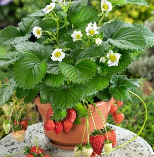 Strawberries-in-pot